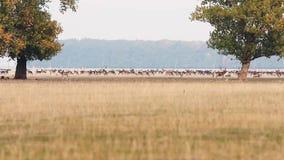 Deers αγραναπαύσεων στην εποχή Dama ζευγαρώματος φιλμ μικρού μήκους