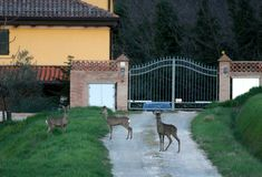 Deers αυγοτάραχων μπροστά από το σπίτι Στοκ φωτογραφίες με δικαίωμα ελεύθερης χρήσης