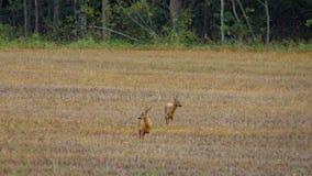2 deers αυγοτάραχων που στέκονται σε έναν τομέα Στοκ Φωτογραφία