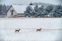 Deers αυγοτάραχων το χειμώνα στοκ φωτογραφία με δικαίωμα ελεύθερης χρήσης