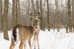 deers δύο Στοκ Φωτογραφία