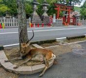 Deers ενός μεγάλα αρσενικά ιερά sika στο πάρκο του Νάρα Στοκ φωτογραφία με δικαίωμα ελεύθερης χρήσης