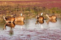 deers Ινδία ranthambore στοκ φωτογραφίες
