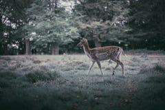 Deers κατάψυξης Στοκ Φωτογραφία