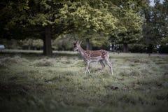 Deers κατάψυξης Στοκ Εικόνες