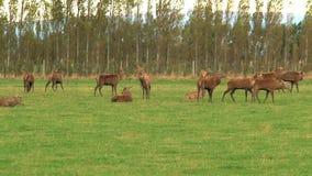 Deers μιας ομάδας στη Νέα Ζηλανδία φιλμ μικρού μήκους