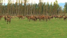 Deers μιας ομάδας στη Νέα Ζηλανδία απόθεμα βίντεο