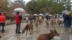 Deers, Νάρα, Ιαπωνία απόθεμα βίντεο