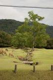 deers Νάρα Στοκ εικόνα με δικαίωμα ελεύθερης χρήσης