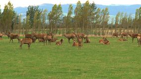 Deers, νότιο νησί, Νέα Ζηλανδία απόθεμα βίντεο