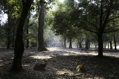 Deers που βρίσκεται στη βαθιά καρδιά του δάσους Στοκ Φωτογραφία