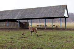Deers που περπατά στο έδαφος ενός αγροκτήματος ελαφιών Στοκ φωτογραφίες με δικαίωμα ελεύθερης χρήσης