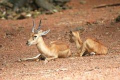 deers που στηρίζονται δύο Στοκ Φωτογραφία