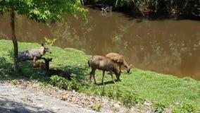 Deers που τρώει τη χλόη & τον ύπνο κανένας ήχος απόθεμα βίντεο
