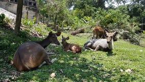 Deers που τρώει τη χλόη & τον ύπνο κανένας ήχος φιλμ μικρού μήκους