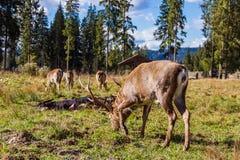 Deers στην επιφύλαξη Στοκ φωτογραφίες με δικαίωμα ελεύθερης χρήσης