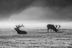 Deers στην υδρονέφωση πρωινού στοκ φωτογραφία
