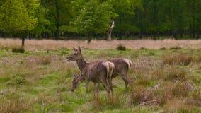 Deers στην ώρα μεσημεριανού γεύματος φιλμ μικρού μήκους