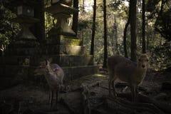 Deers στο δάσος Στοκ Εικόνα