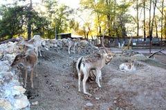 Deers στο ζωολογικό κήπο Στοκ Εικόνες