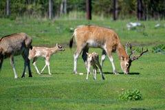 Deers του Δαβίδ Pere Στοκ Φωτογραφίες