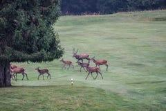 deers Royalty-vrije Stock Foto