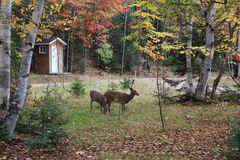 deers Stock Afbeelding