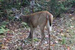 deers Стоковые Изображения