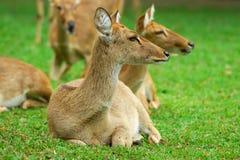 Deers immagine stock libera da diritti