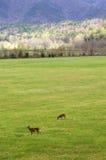 Deers Fotografie Stock Libere da Diritti