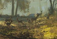 deers στοκ φωτογραφία