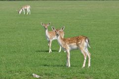 Deers Photos stock