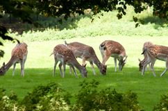 Deers Royalty Free Stock Photos