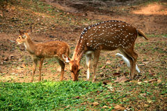 Deers. Two young deers grazing in the park, india Stock Photos