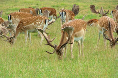 Deers. Herd deer eating grass in Dyrehaven park, Denmark Royalty Free Stock Photos