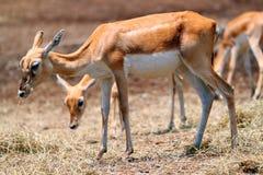 Deers Stock Image