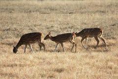 Deers Stock Fotografie
