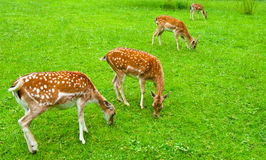 Deers Stock Photography