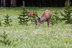 deers стоковая фотография rf