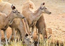 Deers Fotografia Royalty Free