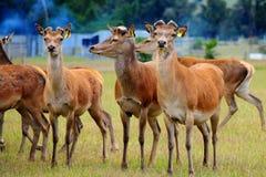 Deers Royalty-vrije Stock Afbeelding