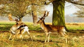 Deers Obrazy Royalty Free