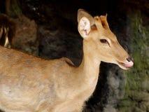 deers Imagenes de archivo