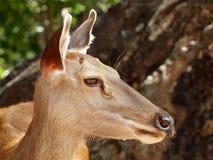 deers Foto de archivo libre de regalías