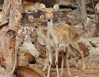deers Foto de archivo