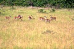 deers Fotografia Stock Libera da Diritti