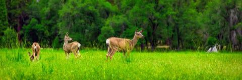 deers Royalty-vrije Stock Afbeeldingen
