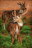 deers imagens de stock