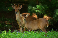 deers Fotos de Stock Royalty Free