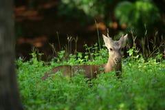 deers fotos de stock royalty free
